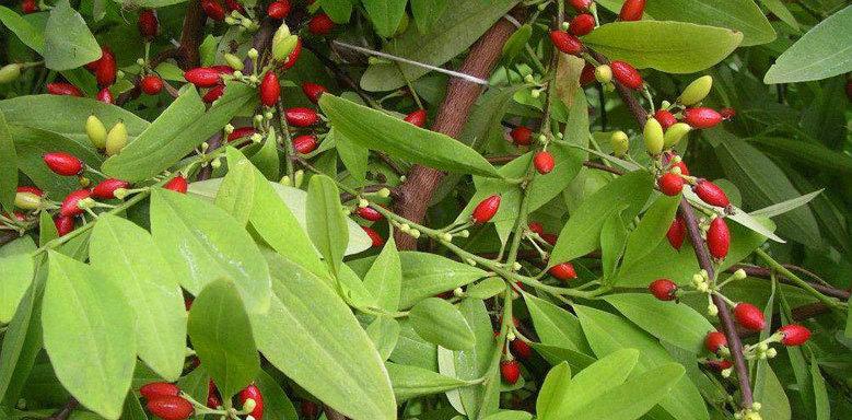 coca plant leaf