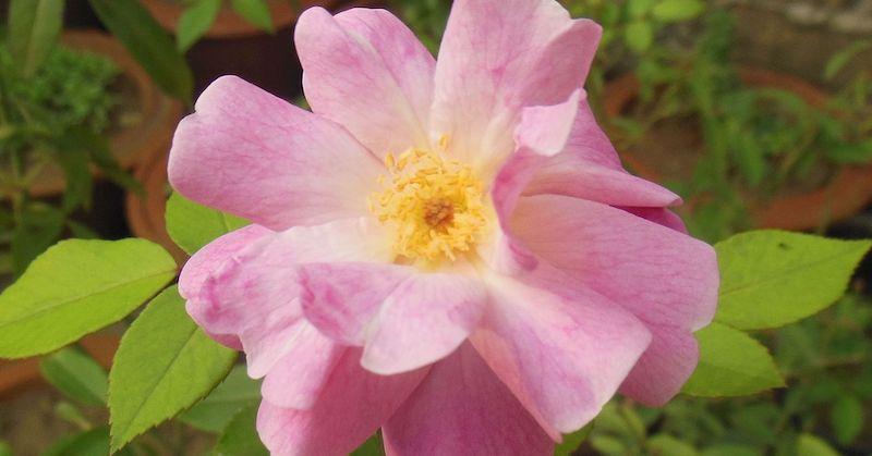 rosa rubignosa