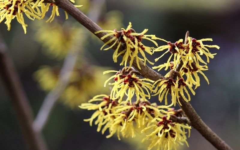 Is witch hazel good for acne